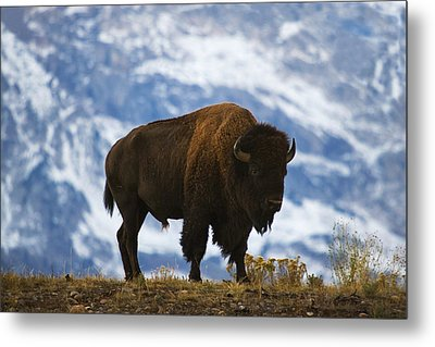 Teton Bison Metal Print by Mark Kiver