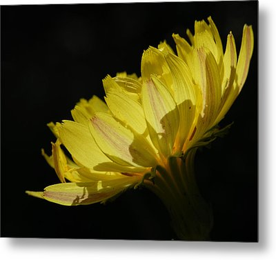 Metal Print featuring the photograph Texas Dandelion by Susan D Moody