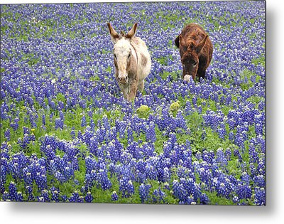 Metal Print featuring the photograph Texas Donkeys And Bluebonnets - Texas Wildflowers Landscape by Jon Holiday