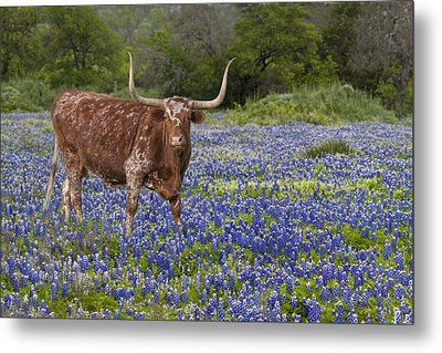 Texas Longhorn In Texas Bluebonnets 4 Metal Print