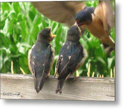 The Adult Barn Swallow Arrives With Lunch For One Metal Print by J McCombie