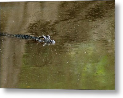 The American Alligator In The Flint River Metal Print by Kim Pate