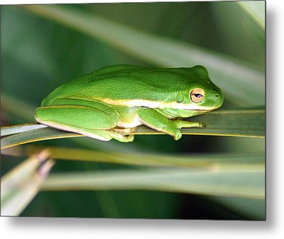 The American Green Tree Frog Metal Print by Kim Pate
