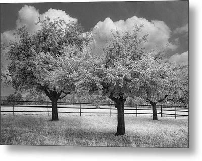 The Apple Orchard Metal Print by Debra and Dave Vanderlaan