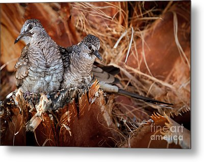 The Baby Inca Doves Metal Print by Robert Bales