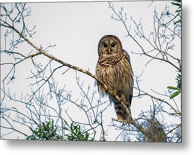 Metal Print featuring the photograph The Barred Owl by Phil Stone