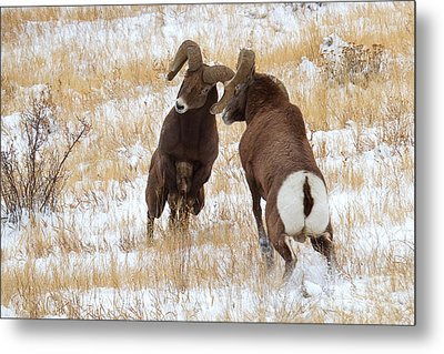 The Battle For Dominance Metal Print by Jim Garrison