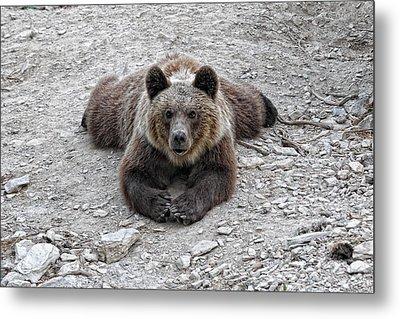 The Bear Resting Metal Print by Goyo Ambrosio