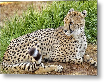 The Beautiful Cheetah Metal Print by Jason Politte
