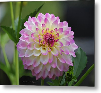 The Beautiful Dahlia Metal Print