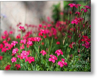 The Beauty Of Maiden Pinks Metal Print