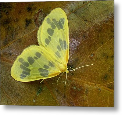 Metal Print featuring the photograph The Beggar Moth by William Tanneberger
