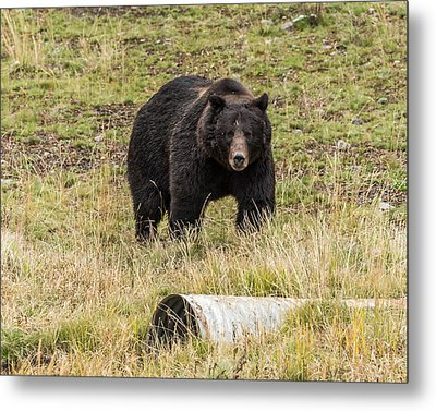 Metal Print featuring the photograph The Big Black Grizzly Boar by Yeates Photography