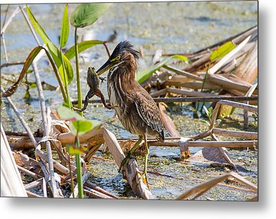 Metal Print featuring the photograph Green Heron And Frog by Phil Stone