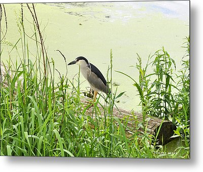 The Black-crowned Night Heron Metal Print by Verana Stark