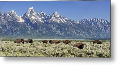 The Boys Club Of Grand Teton Metal Print by Sandra Bronstein