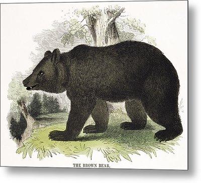 The Brown Bear, Educational Metal Print