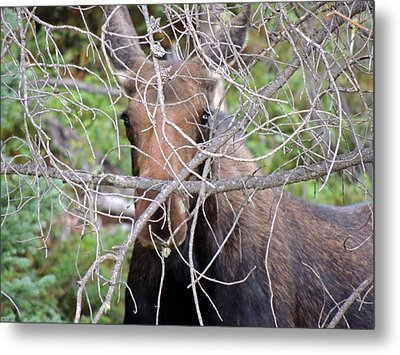The Calf Metal Print by Lynn Sprowl