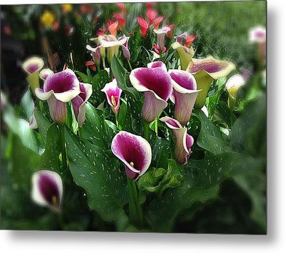 The Calla Lilies Are In Bloom Again Metal Print