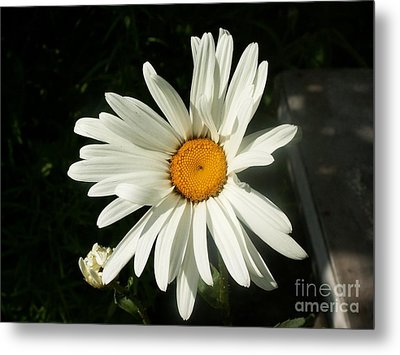 The Camomile Metal Print by Evgeny Pisarev