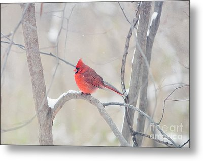 The Cardinal Metal Print by Kay Pickens
