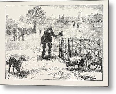 The Collie Dog Trials At The Alexandra Palace,  Penning Metal Print