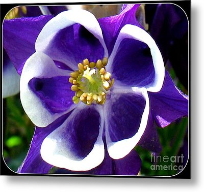 The Columbine Flower Metal Print by Patti Whitten