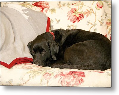 Metal Print featuring the photograph I Don't Want To Get Off This Sofa by Colleen Williams