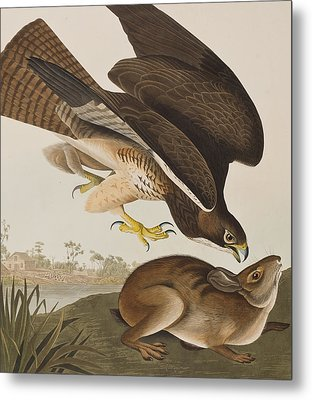The Common Buzzard Metal Print by John James Audubon