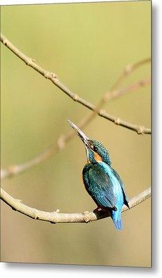 The Common Kingfisher Metal Print