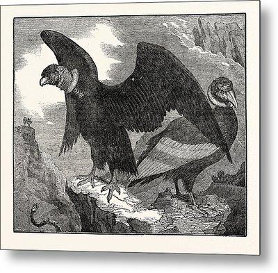 The Condor From A Living Specimen Metal Print