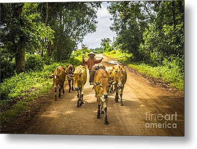 The Cowboy And Cows Metal Print