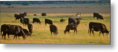 The Cows Won't Mind Metal Print by Barbara Dudley