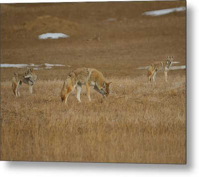 The Coyotes Painterly Metal Print by Ernie Echols