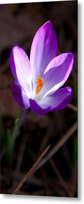 The Crocus Metal Print by David Patterson