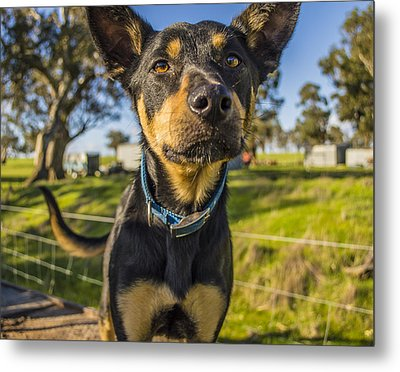 Metal Print featuring the photograph The Curious Dog  by Naomi Burgess