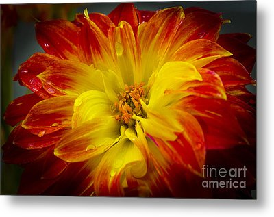The Dahlia's Drama Metal Print by MaryJane Armstrong