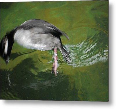 Metal Print featuring the photograph The Dive by Maggy Marsh