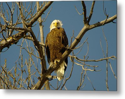 The Eagle Looks Down Metal Print by Jeff Swan