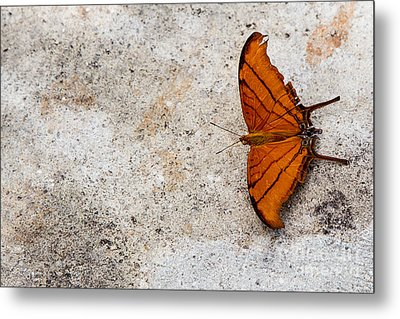 The Elusive Butterfly  Metal Print by Rene Triay Photography