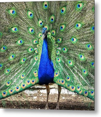 Metal Print featuring the photograph The Flirty Peacock by Nikki McInnes