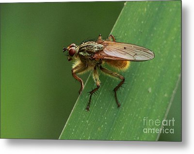 The Fly ? Metal Print by Peter Skelton