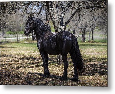 The Friesian Stallion Eros Metal Print by Amber Kresge