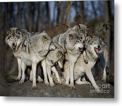 Metal Print featuring the photograph The Gang by Wolves Only
