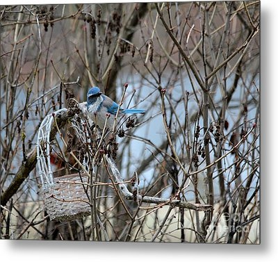 Metal Print featuring the photograph The Gathering Blue Jay by Marjorie Imbeau