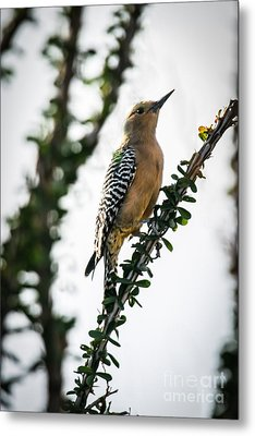 The Gila  Woodpecker Metal Print by Robert Bales