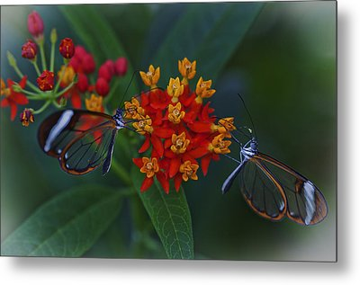The Glasswinged Butterfly Metal Print