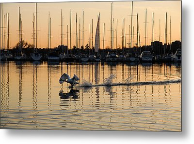 The Golden Takeoff - Swan Sunset And Yachts At A Marina In Toronto Canada Metal Print