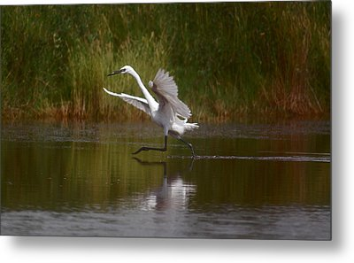 Metal Print featuring the photograph The Great Egret by Leticia Latocki