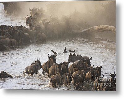 Metal Print featuring the photograph The Great Migration  by Chris Scroggins